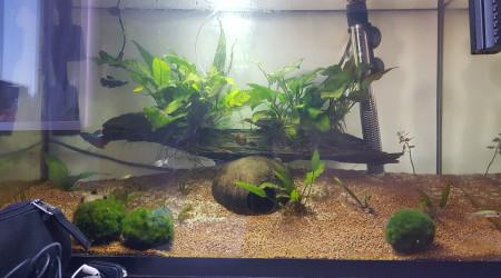 aquarium Combattant femelle