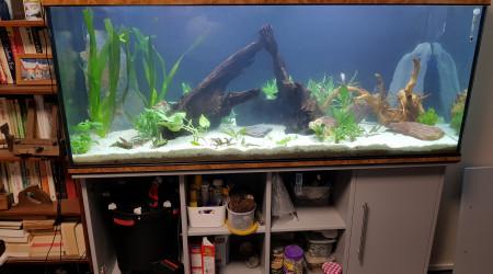 aquarium 500l amazonien pour scalaire soit rio nanay ou manacuppru a dos rouge en rodage