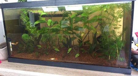 aquarium Kohaku