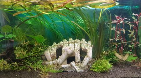 aquarium ShrimpBuche