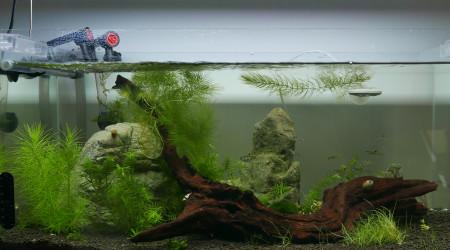 aquarium 50L de Dorsiocellata crevettes et escargots