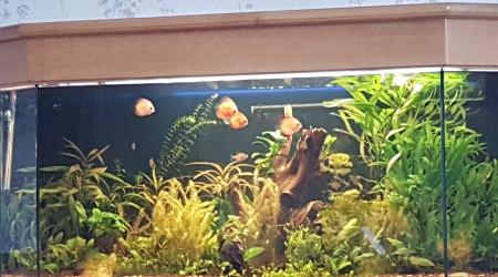 aquarium discus