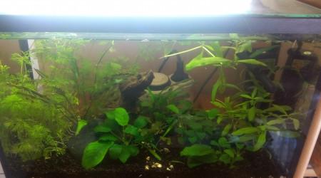 aquarium Bac Cambarellus