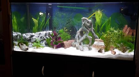 aquarium Guppy