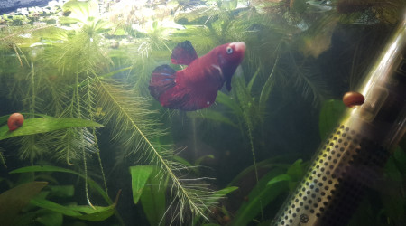 aquarium Betta koi