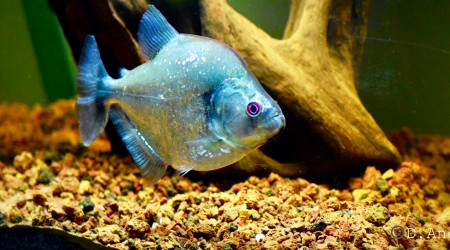 aquarium SERRASALMUS GERYI