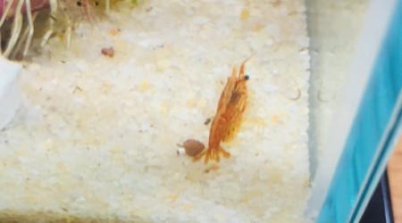aquarium Nano crevettes