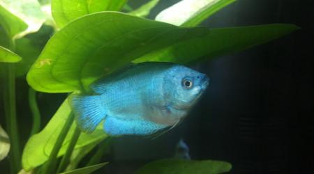 aquarium Communautaire amazonien