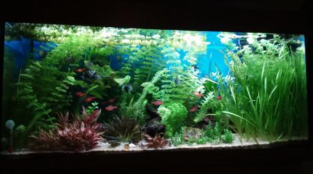 aquarium mon bac pseudo Amazonien