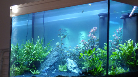 aquarium 240 Apistogramma