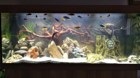 aquarium Malawi mbunas