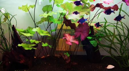aquarium 180L Barbus vert Kuhli