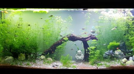 aquarium 525 litres Guppys