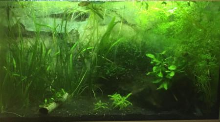 aquarium Betta femelle