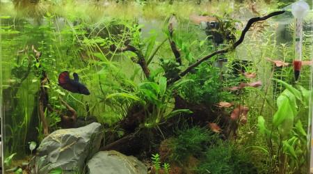 aquarium Betta splendens 55L - Marius Land