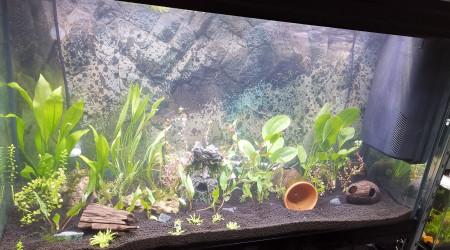 aquarium Crevette bleu du Gabon