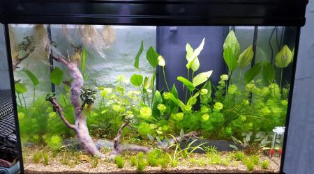 aquarium Aquarium pour Tanichthys albonubes et autres  asiatiques
