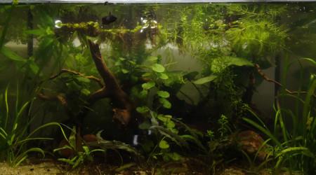 aquarium Low tech betta F
