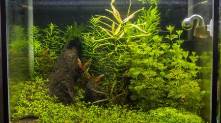aquarium Neocaridina rili red