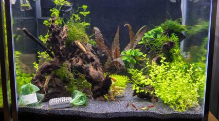 aquarium Neocaridina bloody mary