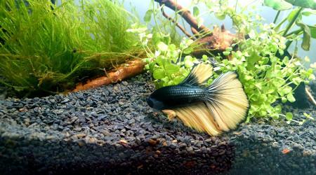 aquarium Georges- Betta splendens