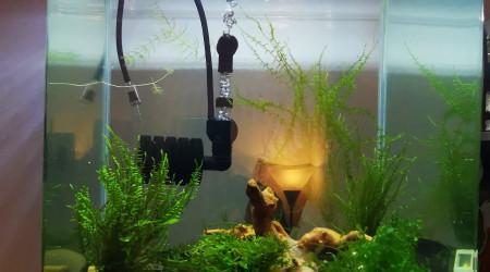 aquarium King kong One Stripe