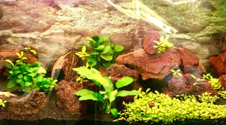 aquarium Apisto. Boreli