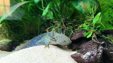 aquarium Club Med Axolotl