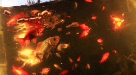 aquarium Bassin du jardin