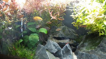 aquarium Gouramis Famili