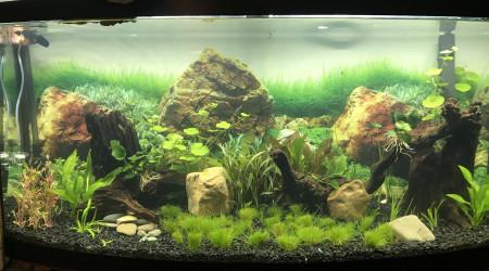 aquarium Cichlidée