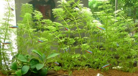 aquarium Amazonie