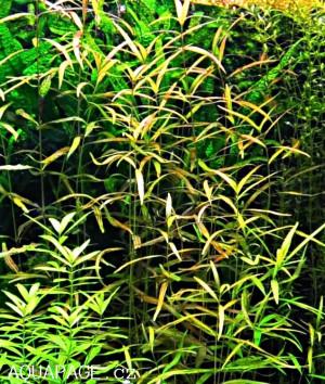 Hygrophila polysperma Var. ''Ceylon''
