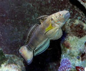 Amblygobius phalaena