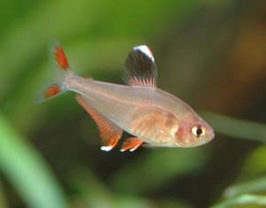 Hyphessobrycon bentosi