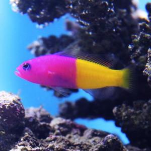 Pictichromis paccagnellae