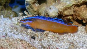 Pseudochromis aldabraensis