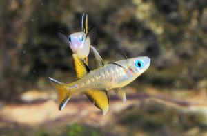 [ARTICLE] Quels poissons mettre dans un Nano-Aquarium  ? - Page 3 2239