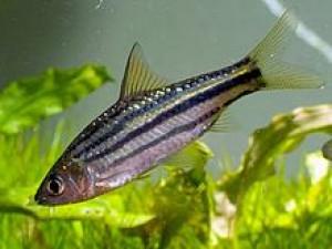 Puntius trifasciatus