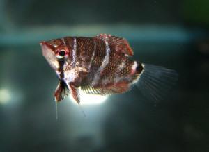 Sphaerichthys selatanensis