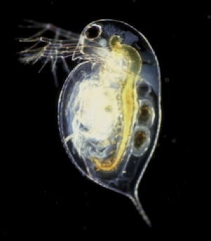 Daphnia pulex