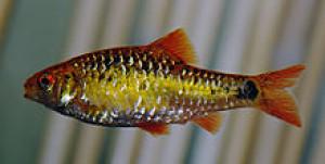 Puntius flavifuscus