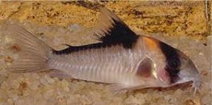 ZZ Corydoras sp. C121