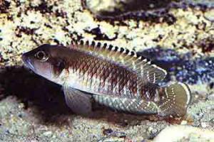 Neolamprologus speciosus