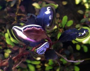Bucephalandra fire bird