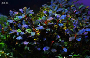 Bucephalandra brownie purple