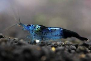 Neocaridina davidi var. blue carbon rili