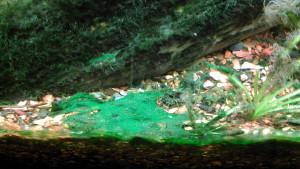 Cyanobactérie