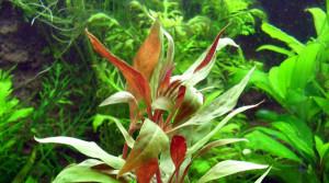 Alternanthera aquatica