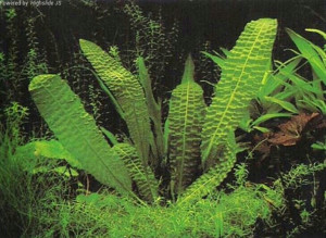 Aponogeton bernierianus